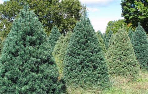 scotch pine trees image gallery scotch pine