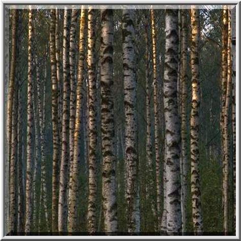 birch tree rubber st photo 599 06 birch trees in eastern part of sosnovka park