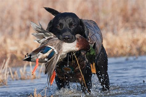 best duck dogs duck retrieves owner in heroic rescue