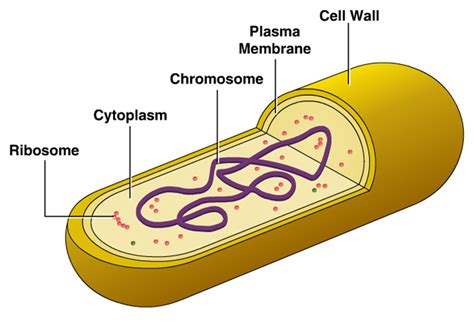 diagram of bacterial cell structure cellular structure of bacteria zero infections
