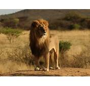 Lion Wallpapers Backgrounds Photos Pictures And Images For Free