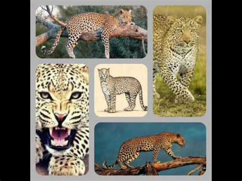 leopard jaguar panther difference black panthers leopards jaguars doovi