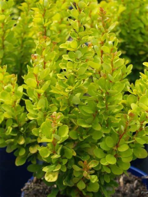Royal Garden Gold Scrub shrubs and perennials