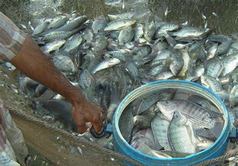 panduan  budidaya ikan nila  kolam tanah