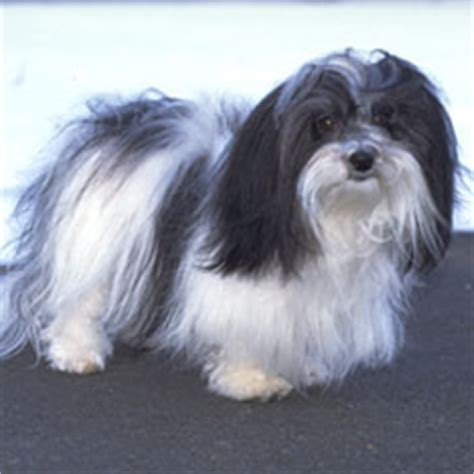 graceful havanese best breeds for apartments dwellers american kennel club
