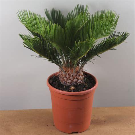 Cycas Revoluta Kaufen by Buy Sago Palm Cycas Revoluta