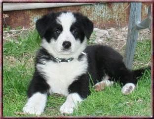 panda shepherd puppies panda german shepherd puppies german shepherd puppies for breeds picture