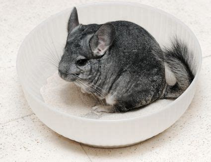 exotic pet names for your chinchilla