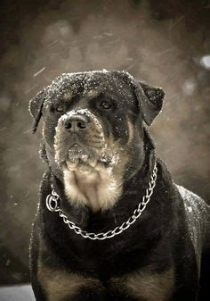 scary names for rottweilers 1000 images about rottweiler stuff on rottweilers rottweiler and