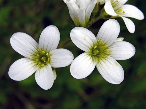 meadow saxifrage saxifraga granulata flowers naturegate