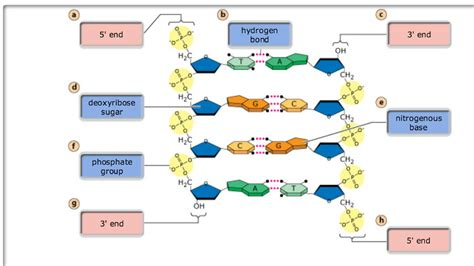 a protein is a linear polymer composed of print 3 chs 5 dna structure and replication