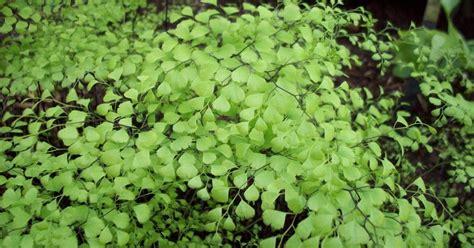 Suplir Atau Adiantum putra garden info dan jenis tanaman hias adiantum atau
