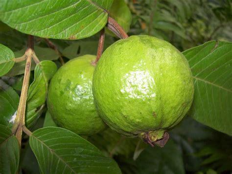 Biji Buah Jambu Bangkok Putih khasiat tanaman jambu biji