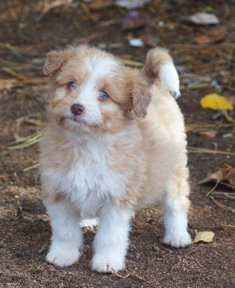 blue merle aussiedoodle puppies for sale merle aussiedoodle blue eyed puppy aussiedoodles puppys and