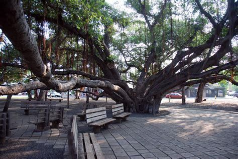 lighting of the banyan tree lahaina carthaginian replica lahaina prior to being sunk