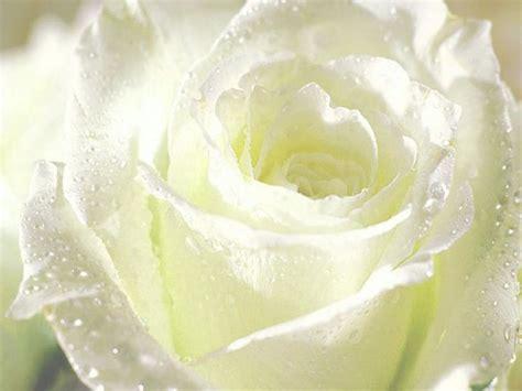 imagenes flores blancas hermosas fotografias de flores blancas fotografias y fotos para