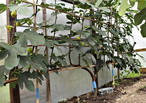 espalier fig in october with ripe fruits edible garden