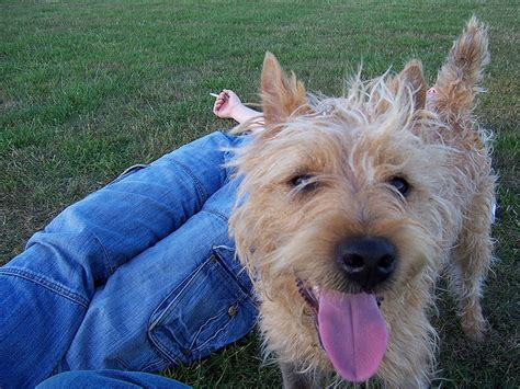 shaggy dogs shaggy breeds breeds picture