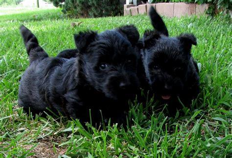 scottish terrier puppies price scottish terrier puppies puppies puppy