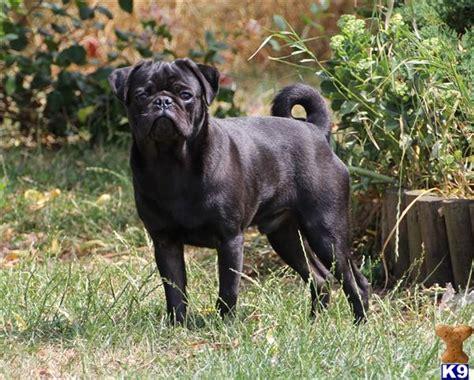pugs for sale 500 black pug for sale 42150