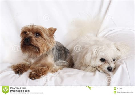 free small dogs two small dogs royalty free stock photography image 8517117