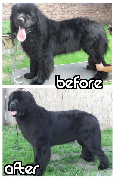 newfoundland dog summer haircuts how to trim a newfoundland for summer black hairstyle