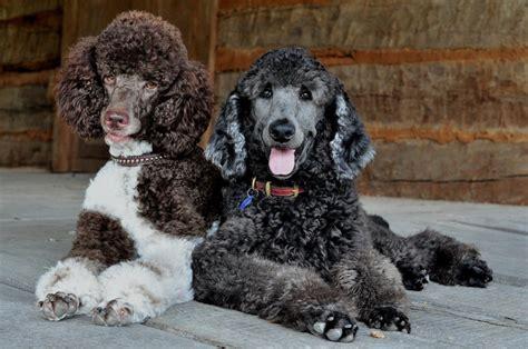 parti colored poodle huxtable the poodle poodle parti poodle july