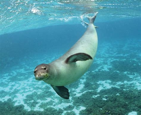 Seal Water Four Seal Species In Danger Of Slipping Away Scientific