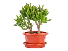 Plant On Desk by Lucky Plants For Your Office Desk Boldsky Com