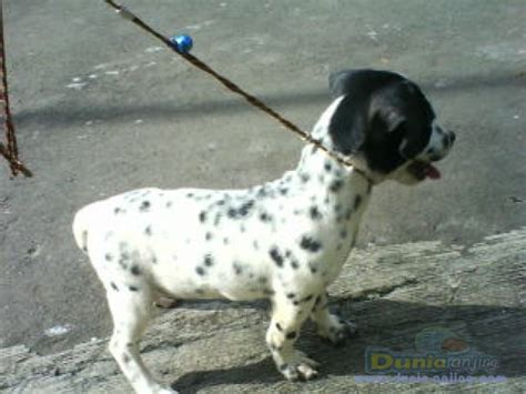 Anakan Arwana Murah dunia anjing jual anjing dalmatian dijual cepat anakan dalmatian betina murah