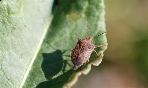 mobugs stink bugs