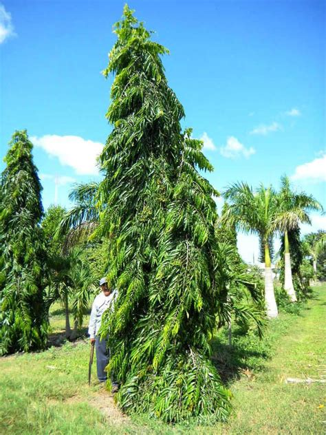 polyaithia longifolia polyalthia longifolia   bb