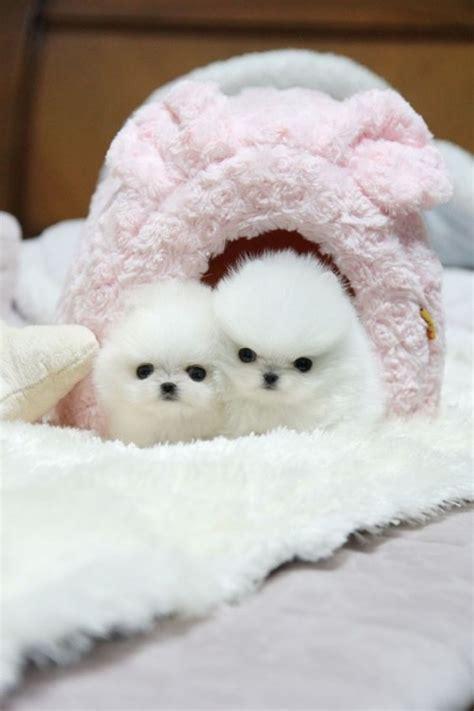pomeranian tulsa two micro tiny teacup pomeranian puppies for adoption text 202 dogs puppies