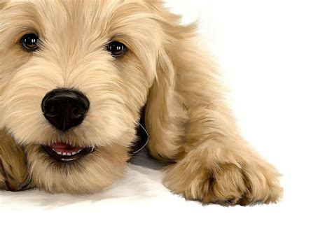 goldendoodle puppy breeders almond blossom doodles goldendoodles puppies of san
