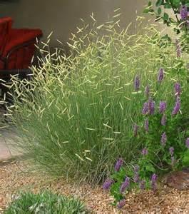 Garden Grass Types - blonde ambition blue grama grass watters garden center