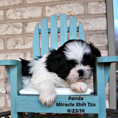 miracle shih tzu shih tzu nursery a