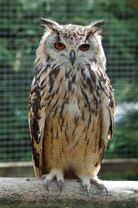 horned owl wikipedia
