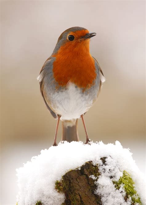 Robins O O 13 robin in snow gt s webfinds