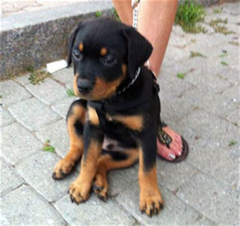 rottweiler puppies montreal rottweiler puppy lost in dorval found petluck ca