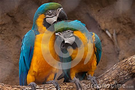 grooming okc parrots stock photo image 45220307