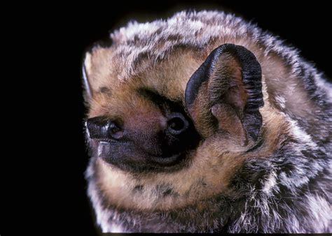 hoary color hoary bat bats in schools