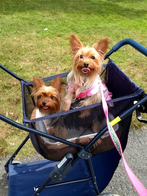 yorkie stroller 17 best images about yorkies our on animal society puppys and