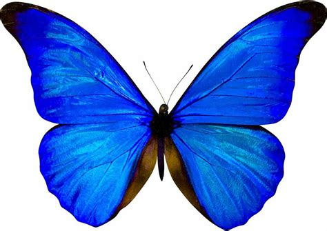 imagenes mariposas mariposas para invitacion azul related keywords