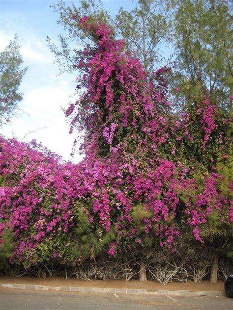 bougainvillea pruning tips     prune