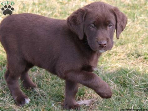 brown lab puppies for sale labrador retriever puppies for sale labrador breeders breeds picture