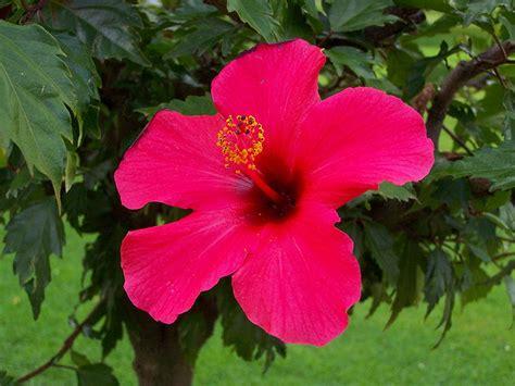 Hibicus Kuning Sembur 1 bunga sepatu aneka bunga dan tumbuhan di dunia