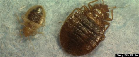 how large are bed bugs climate common sense february 2011
