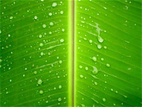 plantain leaf  natural boon  skin care boldskycom