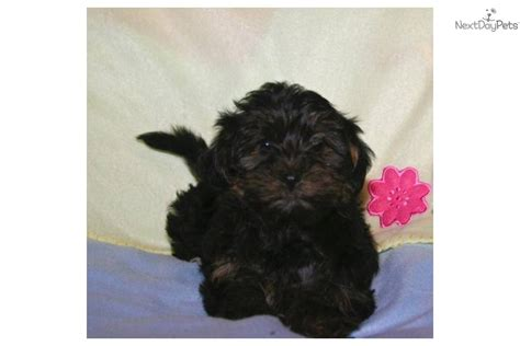 micro teacup yorkie poo puppies yorkie poo puppy for sale designer breed puppies south florida yorkie breeds picture