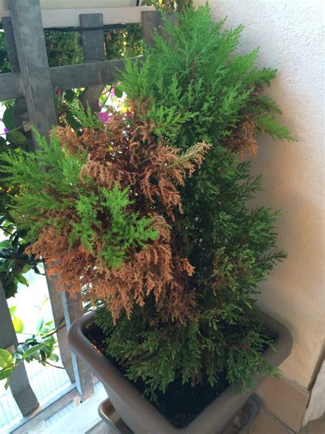 pino nano in vaso pino goldcrest macrocarpa